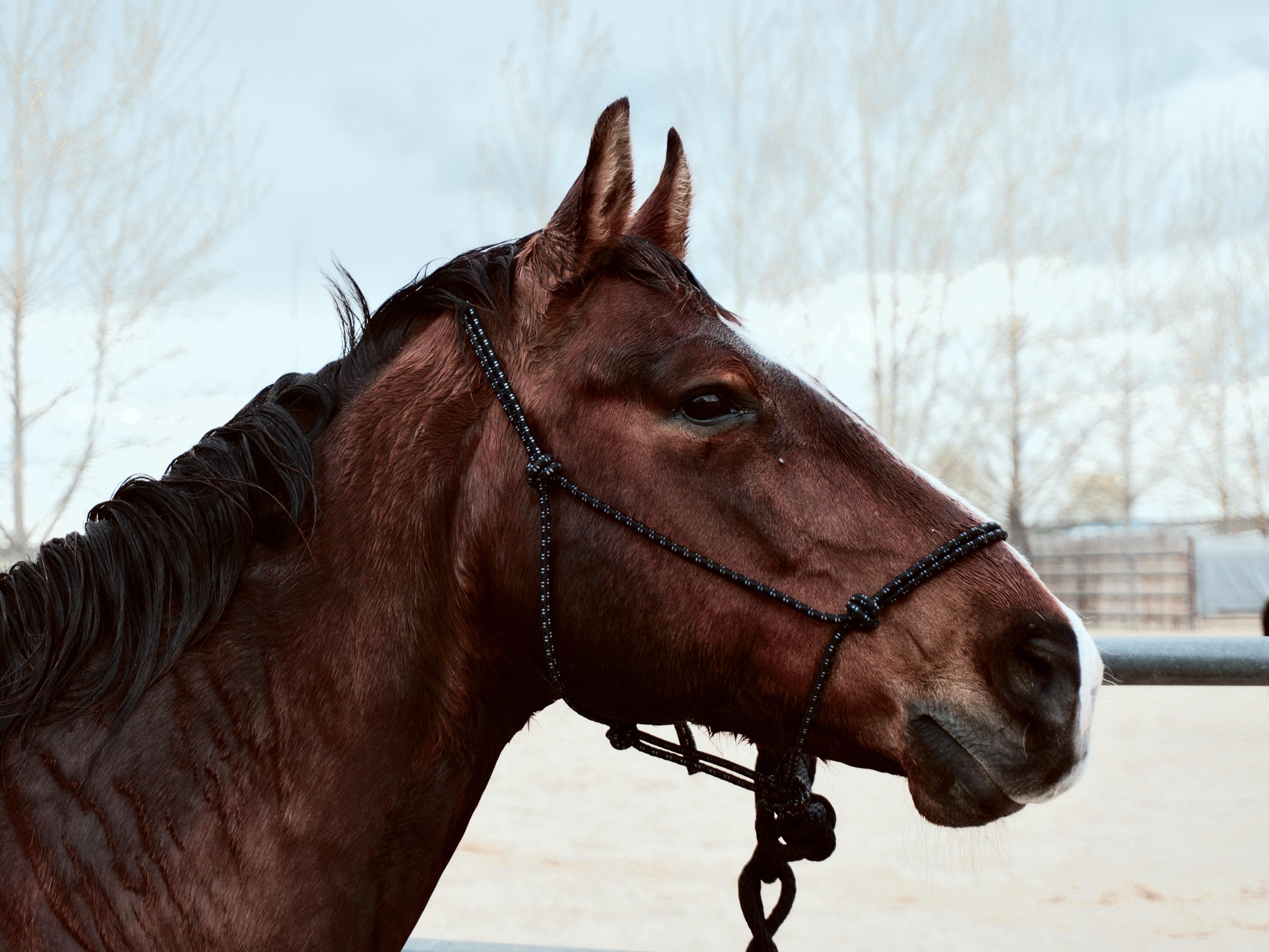 cheval marron avec un licol éthologique en corde