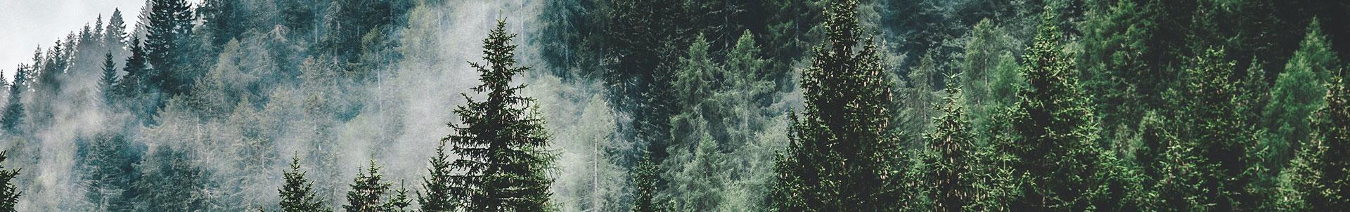 Forêt de pins dans la brume